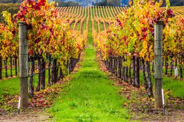 Fototapeta vineyard