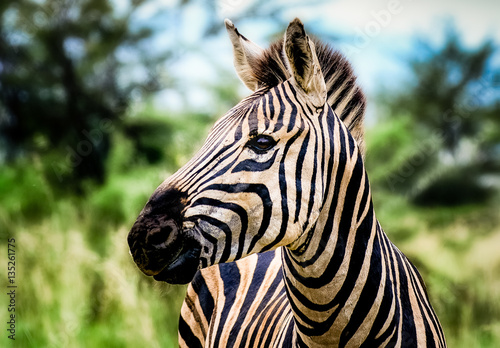 Poster Zebra Cute young zebra on green sunny background in South Africa, outdoor color portrait of a sweet lovely young single isolated animal