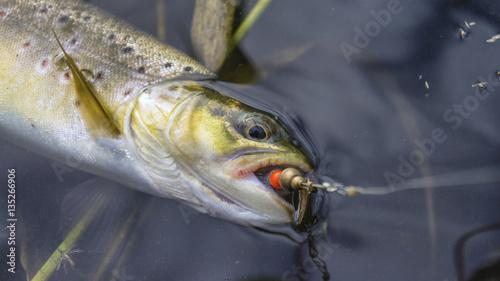 Fotobehang Brown trout caught lure