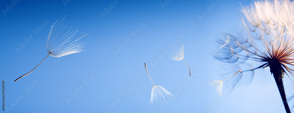 Fototapety, obrazy: flying dandelion seeds on blue background