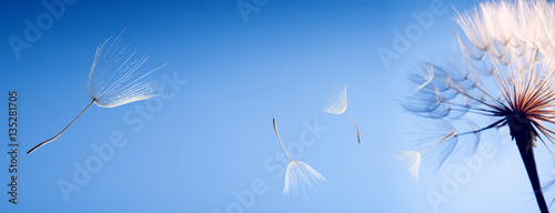 flying dandelion seeds on blue background Canvas-taulu