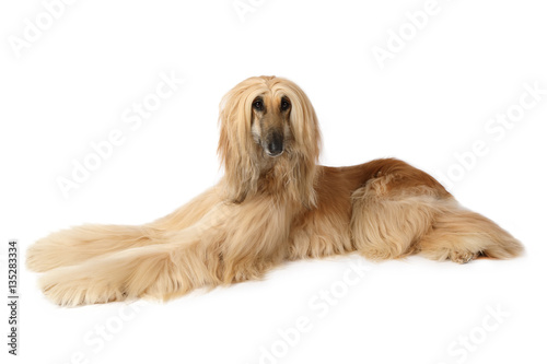 Afghan hound dog lying on white background Canvas Print