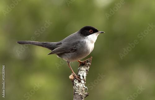 Photo  Sardinian warbler. Sylvia melanocephala