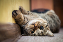 Cute Cat Lying On His Back On ...