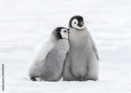 Spoed Fotobehang Pinguin Tired Chick needs support