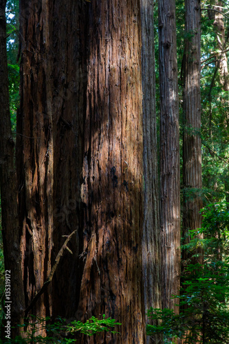 Poster Parc Naturel Küstenmammutbäume (Sequoia sempervirens) im Muir Woods National Monument bei San Francisco, Kalifornien, USA.