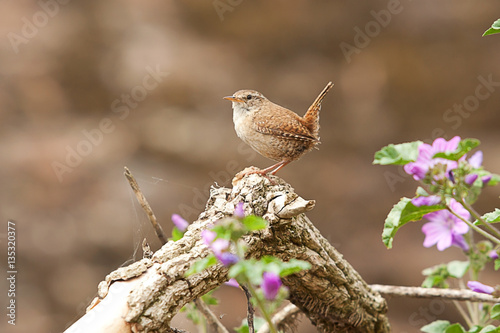 Cuadros en Lienzo photograph of a little alert Jenny Wren