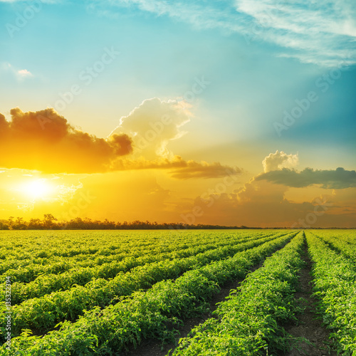 Fotobehang Cultuur orange sunset in clouds over field with tomato bushes