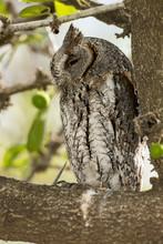 Petit Duc Scops, Hibou Petit Duc, Otus Scops, Eurasian Scops Owl