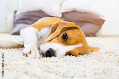 Stickers pour porte Chien Tired dog on soft carpet after training