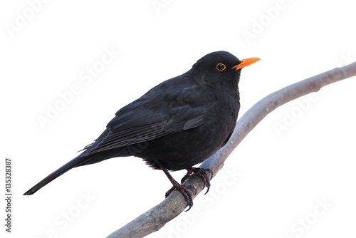 A male blackbird (Turdus merula) isolated on white Canvas Print