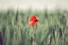 Red Lone Poppy In A Green Field