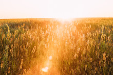 Grass In Yellow Sunlight And Bokeh, Boke Background. Later Summer