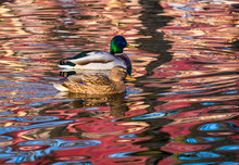 Couple Of Duck And Drake And Red Reflection On The Water