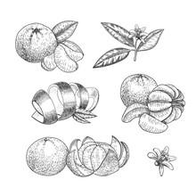 Set Of Hand Made Vector Sketch Mandarins  In Vintage Style.