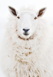 Isolated Front portrait face closeup of one single ewe sheep looking into camera against white background with no ear tags.Unusual cut out view of the most popular farm animal in irish countryside - 135353529
