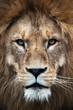canvas print picture - Löwe, Panthera leo, Portrait