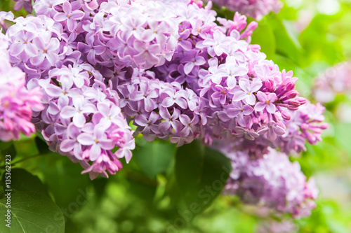 In de dag Lilac Lilac flowers, flowering woody plant