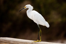 Snowy Egret (Egretta Thula) St...