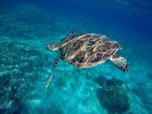 Tortue Marine - Nouvelle Calédonie