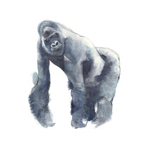 Gorilla Ape Watercolor Painting Illustration Isolated On White Background