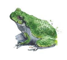 Frog Watercolor Illustration Painting Isolated On White Background