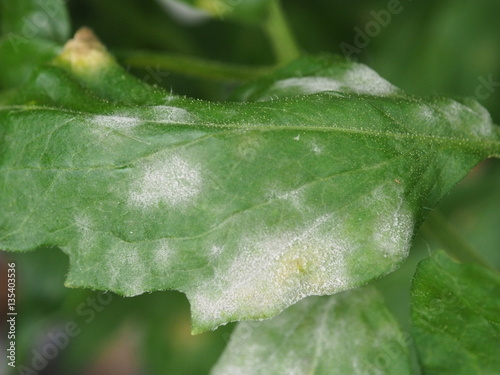 Valokuvatapetti powdery mildew in tomato.