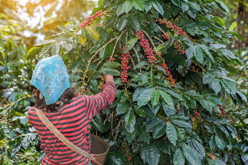 Poster Roe farmers hill picking arabica coffee berries in red and green