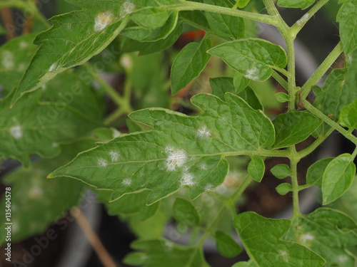 powdery mildew in tomato. Canvas-taulu
