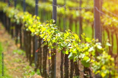 Photo sur Aluminium Vignoble Vineyard in warm evening sunlight in springtime