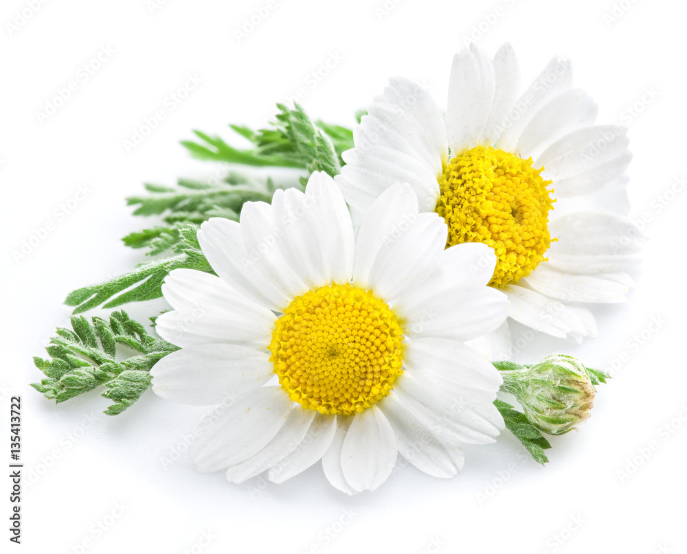 Fototapety, obrazy: Chamomile or camomile flowers.