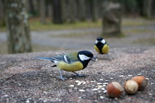 Bird Tomtit White Yellow And Black Feathers Eating Sunflower Seeds A Cold Day In The Park On A Stone Table