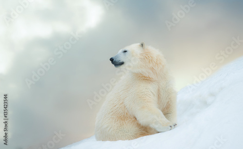 La pose en embrasure Ours Blanc polar bear in winter