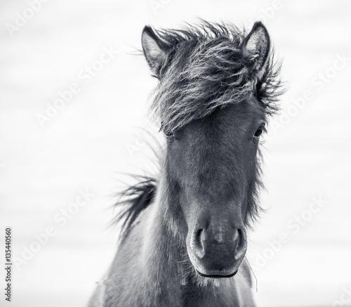 junges Islandpferd
