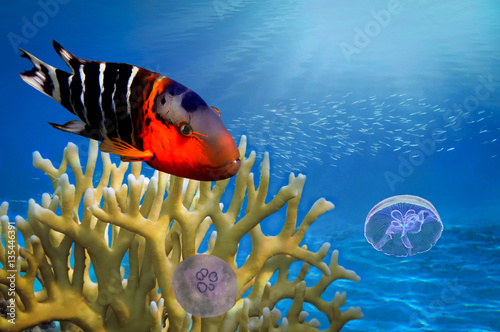 Poster Sous-marin Boomtail wrasse (Cheilinus lunulatus) and jellyfish