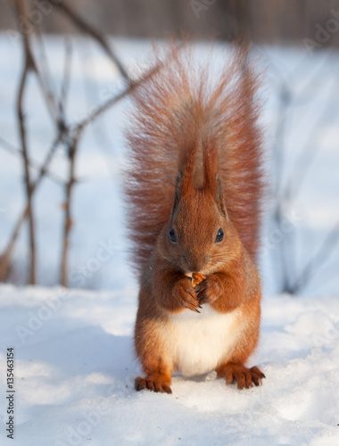 Tuinposter Eekhoorn Red squirrel eating a walnut on snow