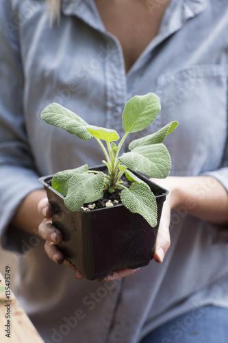 Papiers peints Condiment Woman holding sage plant