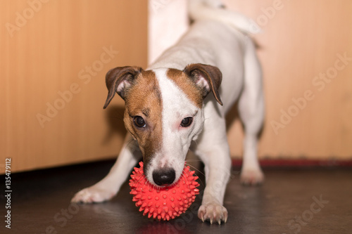 Fotografie, Obraz  Jack Russell home ball game, smile, happy dog