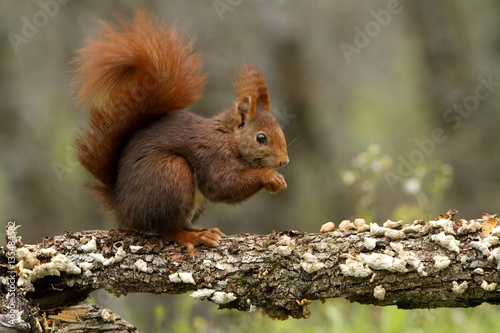 Fotografía  Red Squirrel. Sciurus vulgaris