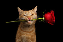 Close-up Portrait Of Ginger Cat Lover Brought Flower As A Gift In Mouth With Smile Isolated On Black Background, Front View