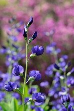 Blue False Indigo – Baptisia Australis, An Herbaceous Perennial Native To The Prairies Of North America