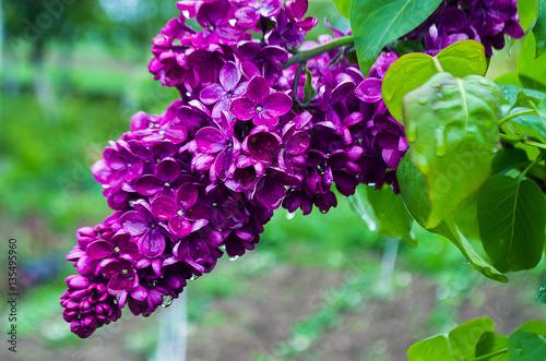 Fototapeten Natur Fragrant lilac flowers bloom in spring