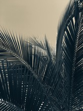 Sepia Image Of Sun Behind Palm...