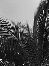 Palm Tree Leaves In Black And ...
