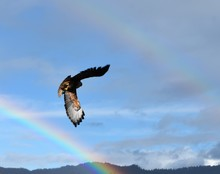 Red Tailed Hawk In Flight With...