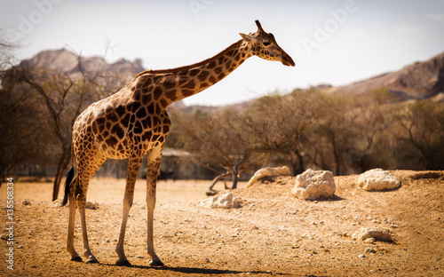 Single giraffe on the savanna in a national park Canvas Print