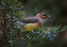 A Cedar Waxwing Eating A Blue Berry Off An Evergreen Tree In The