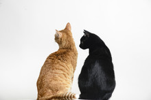 Red And Black Cat Sitting Back To сamera On White Background