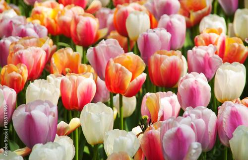 Foto auf Gartenposter Tulpen Dutch tulips