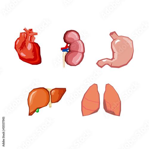Human organs  Internal organs set  Human anatomy, internal